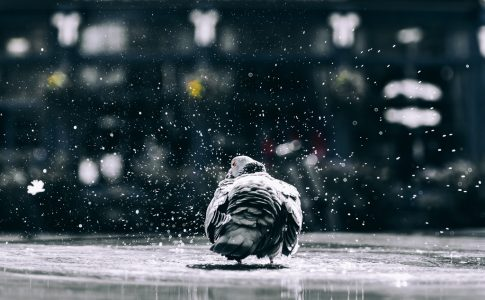Pigeon in the rain